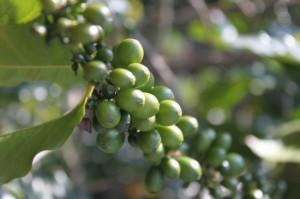 African Griffonia bean