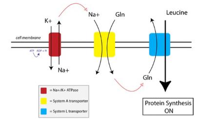 bcaa working mechanism