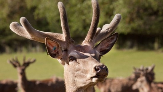 health benefits for men - deer antler velvet