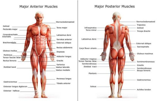 If you have more muscle, you should have less fat
